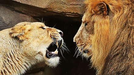 Una leona mató al padre de sus cachorros en un zoológico: la ciencia explica el misterio detrás del ataque