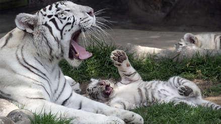 Tigres de Bengala bebés encandilan a visitantes del zoológico de Huachipa