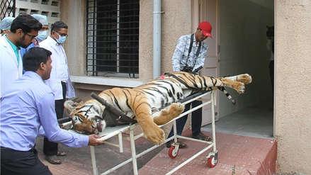 Polémica en India por tigresa que fue abatida tras enorme cacería por matar a 13 personas