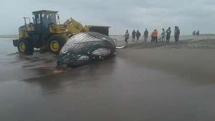 Video | Una ballena murió tras quedar varada en una playa de Tacna