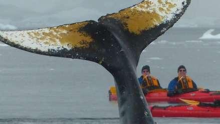 Videos: ballenas en Antártida nadan a centímetros de un grupo de kayakistas