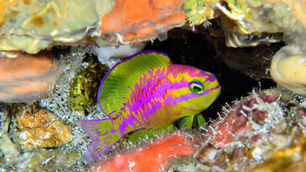 """""""Uno de los peces más hermosos"""": la especie de pez de colores neón descubierta en Brasil"""