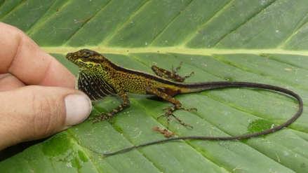 Descubren nueva especie de lagartija entre Ecuador y Colombia
