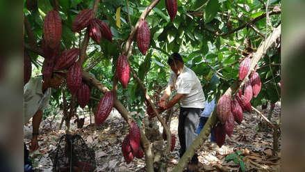 Mejoran la producción de cacao en San Martín con fertilizantes orgánicos y benefician a más de 5.000 productores