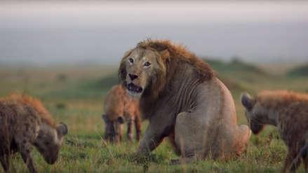 Video | El angustiante momento en que un león se ve acorralado por hienas y lucha por su vida