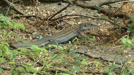 Siembran algarrobos para proteger al cañán de Virú, animal en peligro de extinción