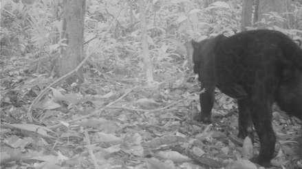 Cámaras trampa captan por primera vez a un otorongo negro en el Parque Nacional Cordillera del Cóndor