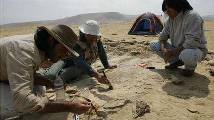 Fósil de un pingüino de 1,50 metros que vivió hace 36 millones de años fue hallado en el desierto de Ica