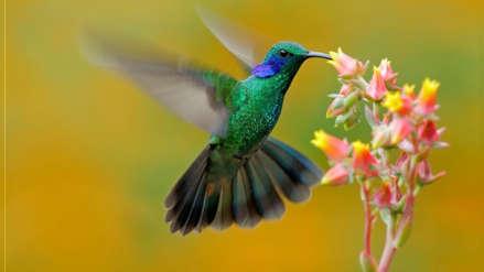 Perú es nombrado mejor destino del mundo para la observación de aves y atrae a millones de viajeros