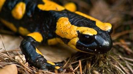 """A la caza de un asesino de salamandras silencioso para evitar """"extinción catastrófica"""""""
