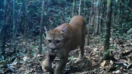 Tres especies de felinos fueron captados por cámaras trampa en el Parque Nacional Sierra del Divisor