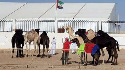 En busca del camello más bello: un concurso que escapa de bloqueos políticos o económicos