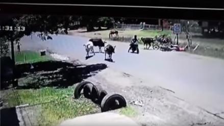 El momento en el que una vaca se abalanza sobre una motociclista y la derriba de una patada