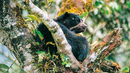 Boshumi: bosque nuboso de San Martín se convierte en área protegida