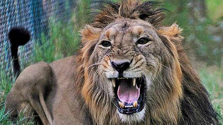 Tres leones de especie en peligro de extinción murieron atropellados por un tren