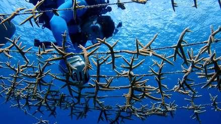 Colombia: trasplantes masivos de corales podrían restaurar los arrecifes del Caribe