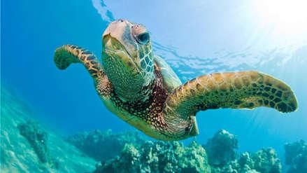 Por culpa del cambio climático casi todas las tortugas verdes serán hembras al final del siglo