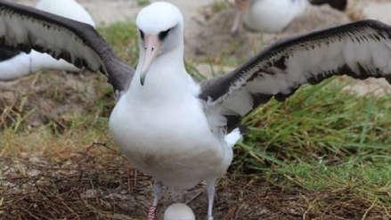 El ave silvestre más vieja del mundo puso un huevo a los 68 años