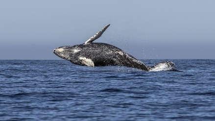 Japón retomará la caza comercial de ballenas tras anunciar su retiro de la CBI
