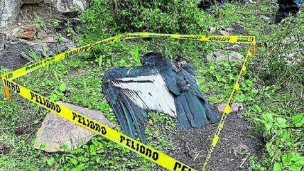 Cóndor hallado muerto en Ecuador ingirió alimento contaminado con insecticida