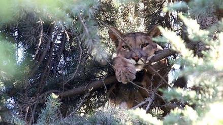 Un Puma permaneció atrapado por 15 horas  sobre un árbol en Santiago de Chile