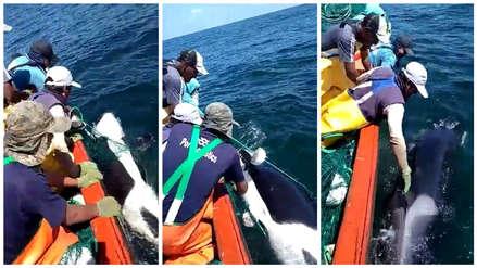 Pescadores chimbotanos liberaron a 'Willy', una orca que quedó atrapada en sus redes