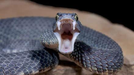 ¿Por qué el veneno de unas serpientes es más letal que el de otras? Científicos resolvieron el misterio