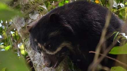 Junín: conozca la increíble fauna silvestre del bosque nublado de Pampa Hermosa