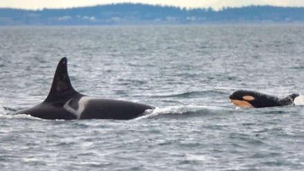 Una bebé orca nace y trae esperanza en el peor momento de la especie [FOTOS y VIDEO]