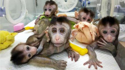 China clona cinco monos alterados genéticamente para analizar el trastorno del sueño