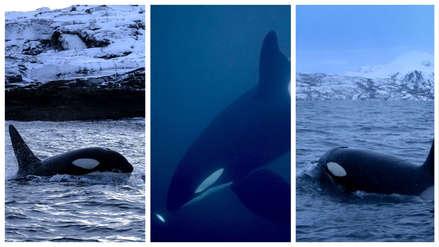 La gran migración de orcas hacia el norte en busca de alimento [FOTOS y VIDEO]