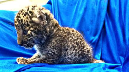Un cachorro de leopardo fue encontrado en la maleta de un pasajero en la India [FOTOS]