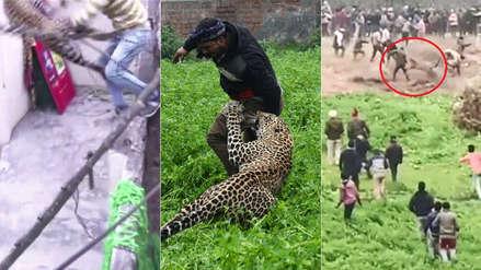 Invadió casas y atacó personas: la historia del leopardo que aterrorizó a toda una ciudad [VIDEO y FOTOS]