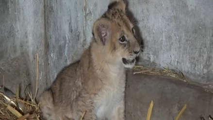 Huancayo | Zoológico lanza concurso para ponerle nombre a leoncita