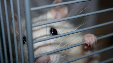 Las ratas invaden el histórico edificio municipal de Los Ángeles