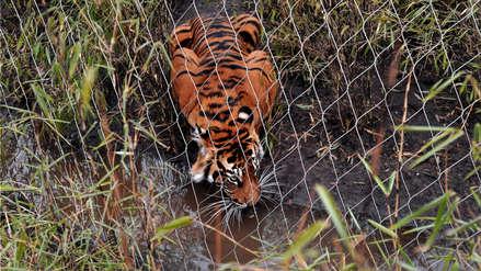 Zoológico de Londres responde por caso de tigre que mató a hembra con la que debía aparearse