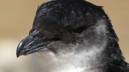 Aves en peligro de extinción mueren enceguecidas por la luz en Chile y en Perú