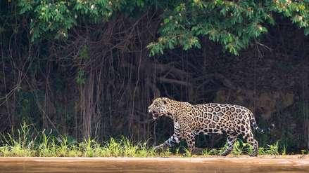 Perú propone reconocer al jaguar como especie bandera de América