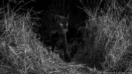 Las impresionantes imágenes de un leopardo negro captado en África por primera vez en 110 años