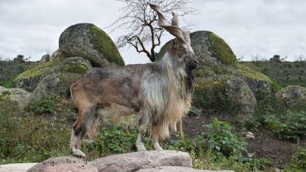 Un cazador pagó más de 100 mil dólares para viajar a Pakistán y matar cabras en peligro de extinción