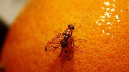 Una mosca de la fruta genera que se refuerce los controles en Nueva Zelanda