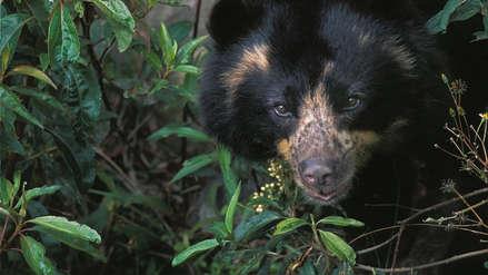 Choquequirao: el territorio amenazado del oso de anteojos en el Cusco