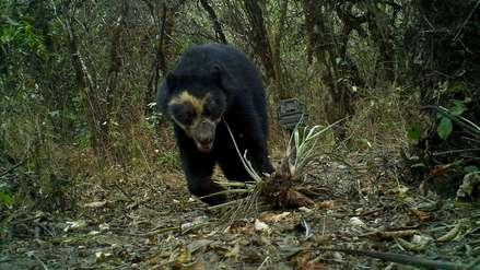 Perú: el camino de los osos de anteojos en Laquipampa  VIDEO