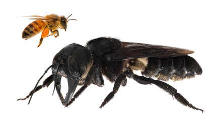 No estaba extinta: La abeja más grande del mundo fue observada por primera vez en 38 años