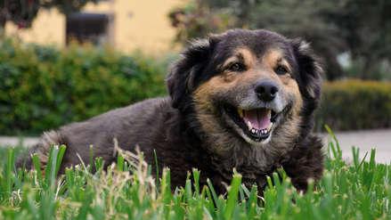 'Perrovaca' tiene pronóstico reservado: La mascota no oficial de la UNMSM está enferma y será operada pronto