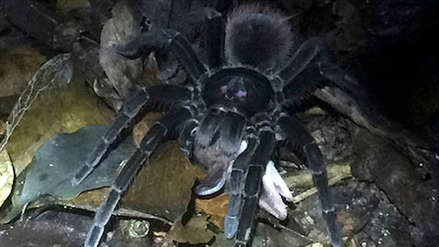 Enorme tarántula es captada por primera vez devorando una zarigüeya en la selva peruana [VIDEO]