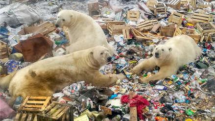 Los osos polares son amenazados por la creciente presencia humana en el Ártico ruso