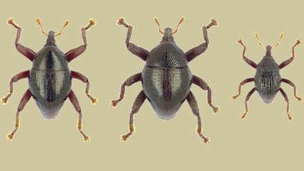 Yoda, Astérix y Charles Darwin: Las nuevas especies de escarabajos encontradas en Indonesia