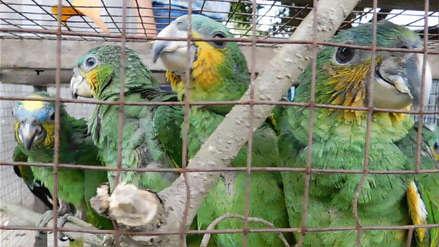 Pucallpa | Decomisan más de mil animales silvestres que iban a ser vendidos en Lima