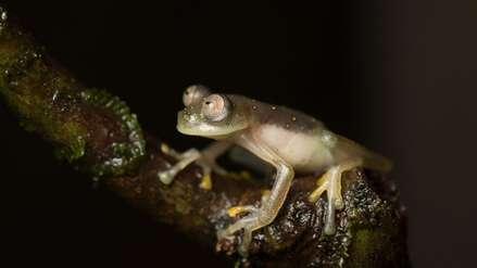 Ecuador: descubren rana de cristal en una reserva cercada por la minería